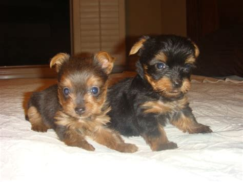 blue yorkies blue yorkie breeds picture