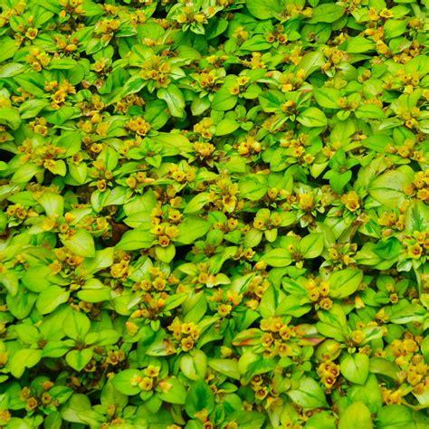 fiori da bordura pieno sole piante tappezzanti perenni pieno sole