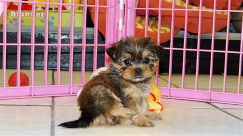 yorkie shih tzu for sale stunning teacup yorkie tzu puppies for sale in atlanta designer