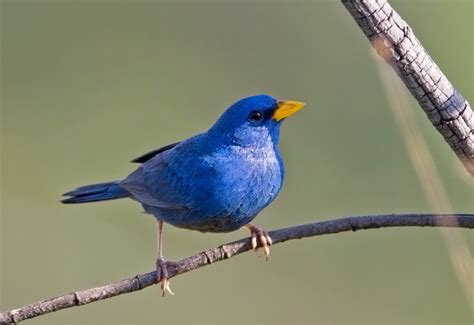 the blue finch or yellow billed blue finch porphyrospiza