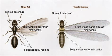 winged termites and flying ants know the difference