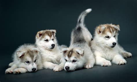 puppies tucson siberian husky puppies available in tucson az