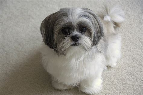 picture of shih tzu half shih tzu half pomeranian mix puppies half shih tzu half breeds picture