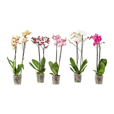 ikea le blume phalaenopsis plante en pot ikea