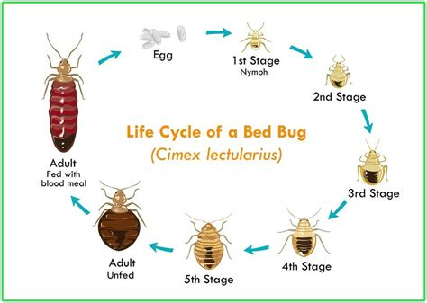 life cycle of bed bugs bed bug bites on black people hot girls wallpaper
