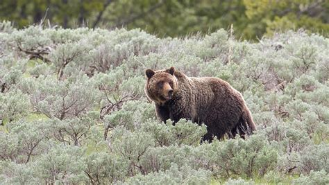Grizzly Bears Yellowstone National Park U S National Park Service - grizzly bears yellowstone national park u s national