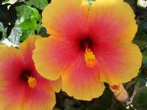 which state has a hibiscus water lily plant images