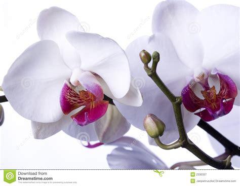 imagenes hermosas de orquideas orqu 205 deas hermosas fotograf 237 a de archivo libre de regal 237 as