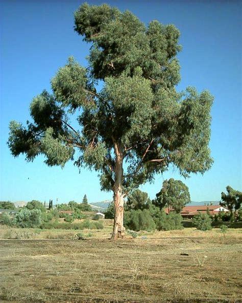 eucalyptus trees 1