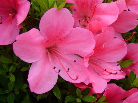 pink flower driverlayer search engine
