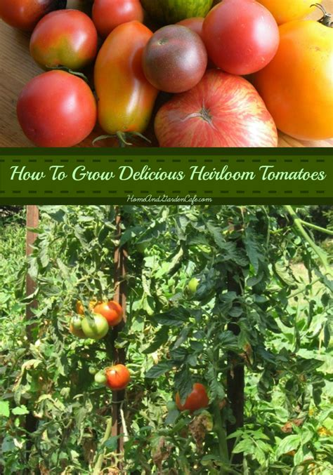 5 tips for growing heirloom tomatoes the home and garden