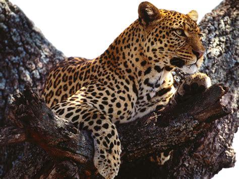 leopard wallpaper pinterest wild african leopard nature hd wallpaper funny pictures