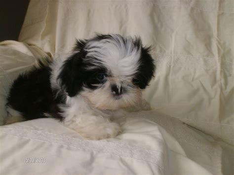 newborn shih tzu puppies shih tzu baby boy bognor regis west sussex pets4homes
