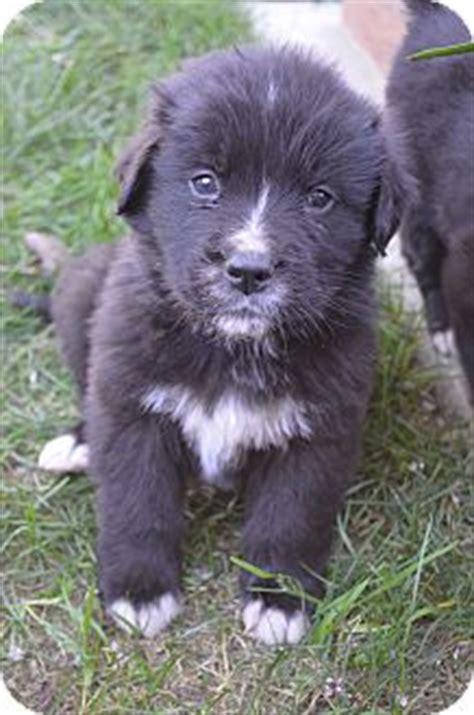 st bernard golden retriever puppies callen adopted puppy bellflower ca st bernard golden retriever mix