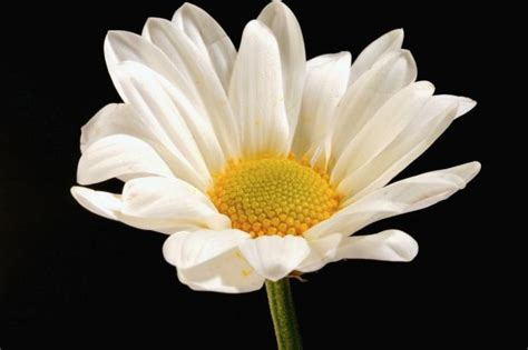 flower picture daisy flower 3 white daisy flower with yellow photo jpg hi res 720p hd