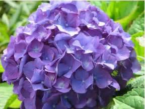 hydrangeas flowers cut hydrangea flowers in purple in up picture jpg