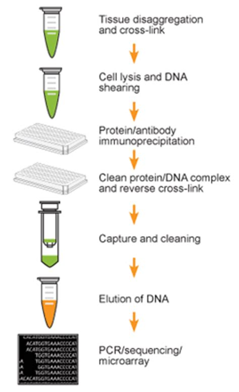 chip qpcr protocol epiquik tissue chromatin immunoprecipitation chip kit