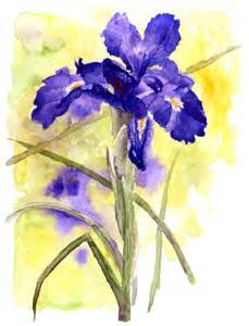 water color drawings iris latifolia by nathalie magrou drawing watercolor