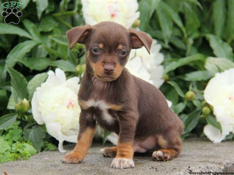 chiweenie puppies for sale in michigan haired chiweenie breeds picture
