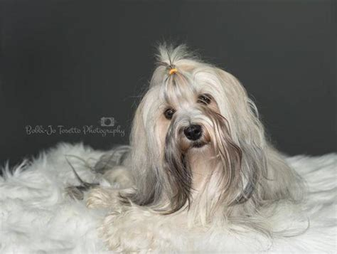 havanese breeders in ontario havanese puppies for sale ontario canada havanese breeders
