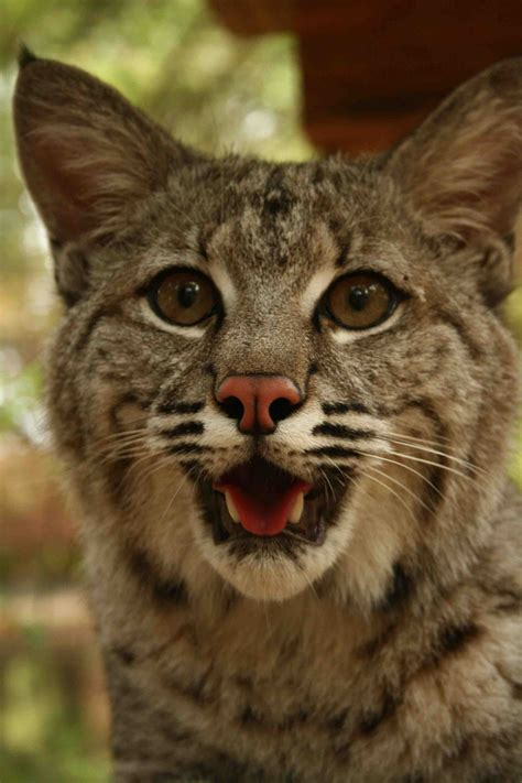 Bobcat Max In Treehouse Big Cat Rescue