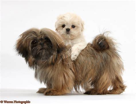brown maltese shih tzu puppy dogs brown shih tzu puppies