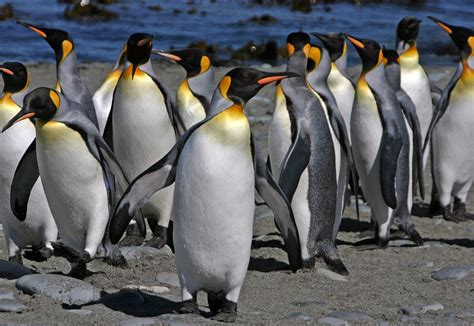 what color are penguins penguin facts types habitat diet adaptations pictures