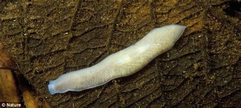 flatworms in dogs small flat worms in dogs images