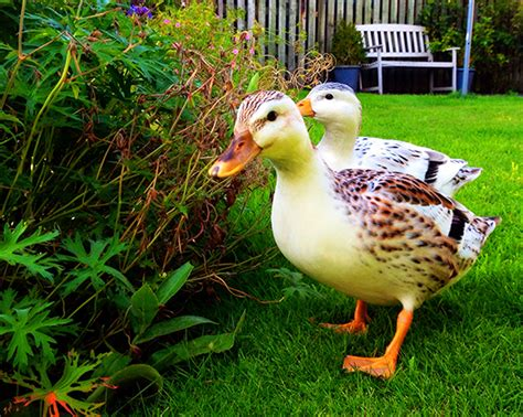 apple yard silver appleyard ducks www pixshark com images
