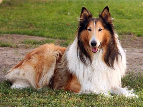 collie breed collie all big breeds