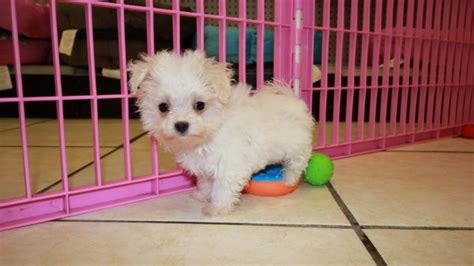 maltipoo puppies for sale in ga beautiful teacup malti poo puppies for sale in ga teacup maltese poodle puppy