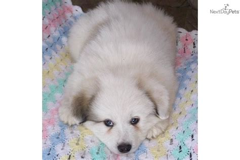 golden pyrenees puppies for sale meet teddy a great pyrenees puppy for sale for 500 golden pyrenees puppy