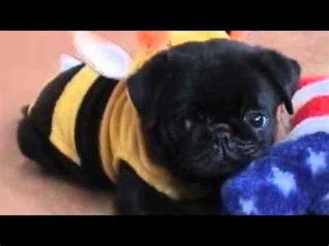 pug bumblebee costume bumble bee pug pug bumble bees bees and animal
