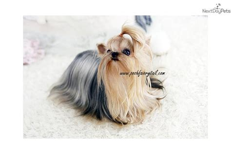 when will my yorkie be grown dogs and puppies for sale and adoption oodle marketplace