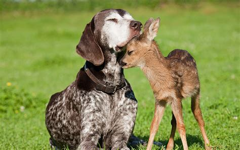deer with dogs and deer wallpapers and images wallpapers pictures photos