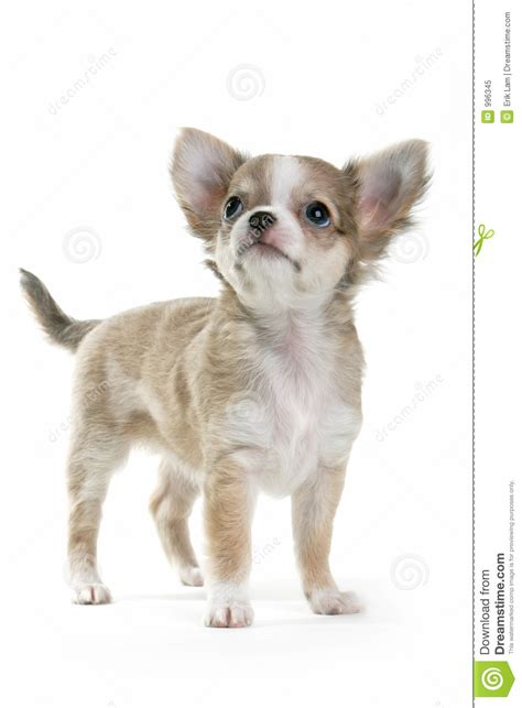 looking for free puppies chihuahua puppy royalty free stock photo image 996345