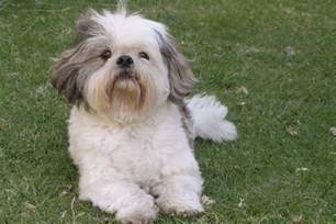 hair dogs that dont shed breeds picture