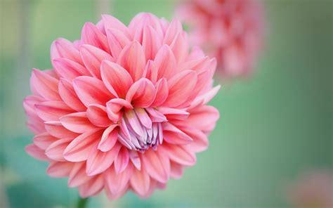 abbeville floral wallpaper pink natural 85 wallpaper flower backgrounds for mobile and desktop