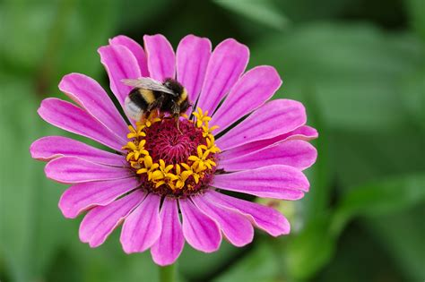 plants and flowers file zinnia elegans with bombus 01 jpg wikimedia commons