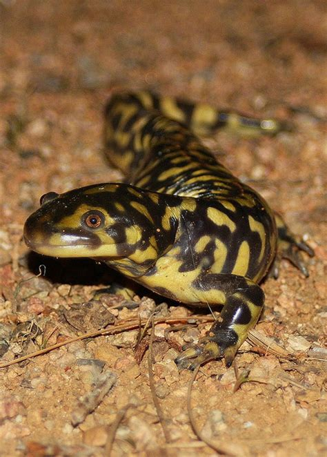 real monstrosities eastern tiger salamander