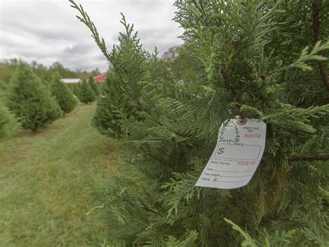 mississippi christmas tree farm high demand boosts tree prices mississippi state extension service