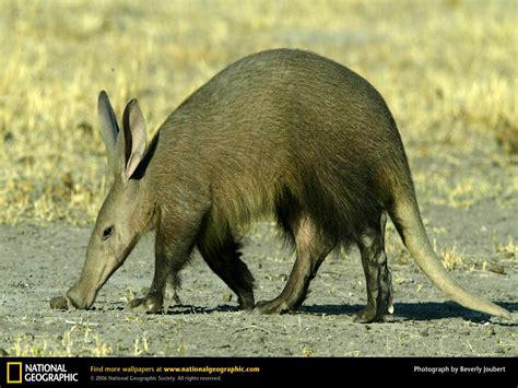urial wallpapers animals town aardvark wallpaper animals town