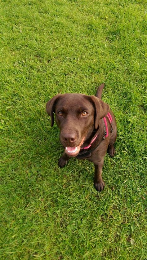 chocolate lab puppies for adoption chocolate labrador for adoption walsall west midlands pets4homes
