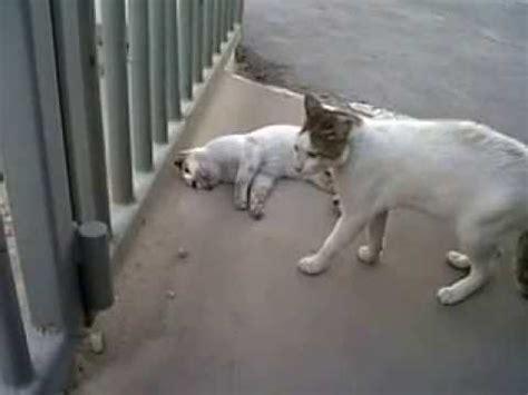 Mengenal Dan Menyayangi Anjing Dan Anak Anjing ibu kucing menyayangi anaknya anak kucing lucu meong
