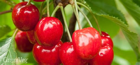 q significa cherry tree how to grow your own delicious cherries