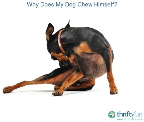 why do dogs chew why does my chew himself thriftyfun