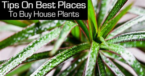 buy house plants tips on best places to buy house plants