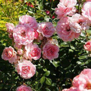 lade di sale rosa nhr organic essential oils organic floral waters