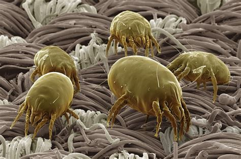 Upholstery Refinishing Dust Mites L Pureclean Rug Cleaning Snohomish L Bellevue