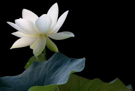 what is white lotus white lotus flower on black img 2031 1000 white lotus